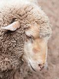Woolly sheep in zoo Stock Photos