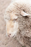 Woolly sheep in zoo Stock Images