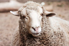 Woolly sheep in zoo Stock Image