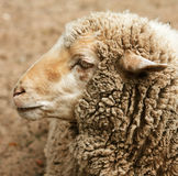 Woolly sheep in zoo Royalty Free Stock Images
