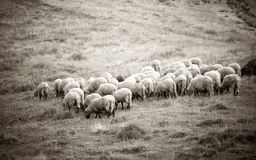 Woolly sheeps grazing in mountains Stock Photos