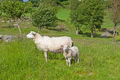 Ewe and lamb sheep on farm in Norway. Woolly tagged ewe with a young lamb on Talgje island, Norway stock photos