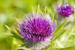Woolly thistle, Cirsium eriophorum Royalty Free Stock Images