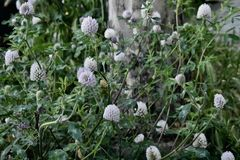 The woolly thistle, cirsium eriophorum. The woolly thistle is common throughout Europe. With a prominent wooly head and spines on the tips of the leaves, it is Stock Photos