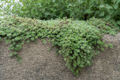 Woolly Thyme creeping over Stone Wall Stock Images