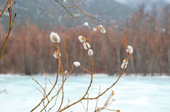 Woolly willow bud - Palm Sunday symbol in early spring near ice river Royalty Free Stock Image