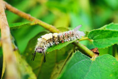 Woolly worm Stock Photo