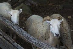 Wooly овцы при рожки, стоя около деревянной загородки, Новая Англия Стоковые Изображения RF