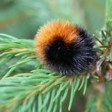Wooly Bear Snuggled on Branch Royalty Free Stock Image