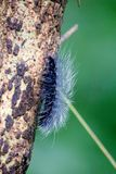 Wooly Black Caterpillar - The Giant Leopard Moth Caterpillar Stock Images