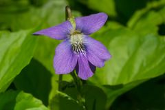 Wooly Blue Violet - Viola sororia Royalty Free Stock Photography