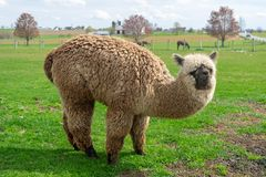A wooly brown Alpaca performing for the camera royalty free stock photography