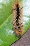 Wooly Caterpillar Zdjęcie Stock