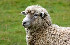 wooly får Royaltyfri Fotografi