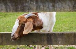 Wooly får Arkivfoto
