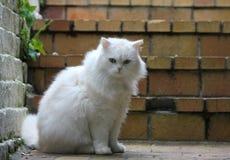 Wooly Feline Stock Image