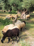 Wooly Greek Sheep Grazing  in Ancient Olive Grove Royalty Free Stock Images