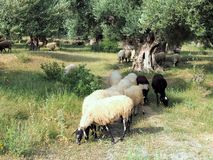 Wooly Greek Sheep Grazing  in Ancient Olive Grove Royalty Free Stock Photos