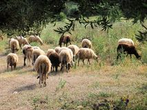 Wooly Greek Sheep Grazing  in Ancient Olive Grove Stock Photography
