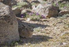 Wooly Hare seent at Tsokar Lake. Ladakh India Stock Photography