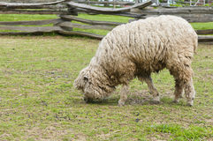 Wooly lamb. Closeup of a wooly lamb, grazing in an enclosed pen, ready for shearing Stock Photos