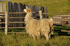 Wooly llama stands near a weathered fence Royalty Free Stock Photography