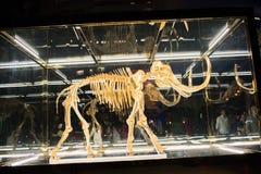 Wooly mamut pieczętujący w szklanej skrzynce Obrazy Stock