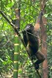 Wooly Monkey. In the Amazonia of Ecuador Royalty Free Stock Image