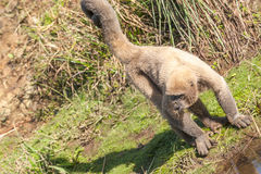 Wooly Monkey in the Amazonia Royalty Free Stock Photos