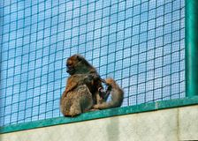 Wooly monkey in Zoo in citadel in Besancon Stock Photography