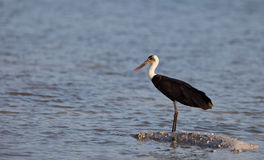 Wooly-necked Stork Royalty Free Stock Image