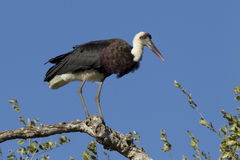 Wooly Necked Stork perched, South Africa. Wooly necked Stork, (Ciconia episcopus) perched on a branch in South Africa's Kruger Park Stock Photo