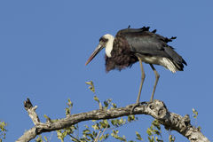 Wooly Necked Stork, South Africa. Wooly Necked Stork (Ciconia episcopus) perched on a branch in South Africa's Kruger Park Royalty Free Stock Photos