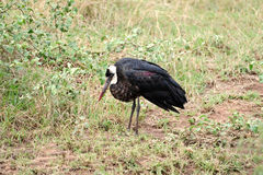 Wooly Necked Stork, South Africa Stock Photos