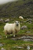 wooly ram obraz royalty free