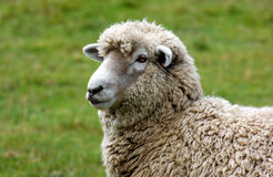 Wooly Sheep. One of New Zealand's many sheep Royalty Free Stock Photography