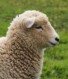 Wooly Sheep. Nice young New Zealand lamb about three months old Stock Photos