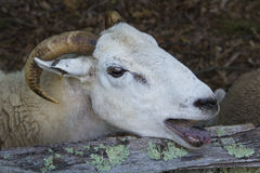 Wooly sheep bleating, with tongue out, New England farm. Stock Photography
