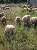 Wooly Sheep Grazing, Greece Royalty Free Stock Images