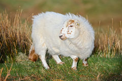 Wooly sheep stock photography