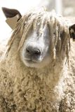 Wooly Sheep's Face. A sheep face covered with long wool Stock Photos