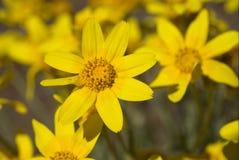 Wooly Sunflower. Or eriophyllum lanatum Royalty Free Stock Photos