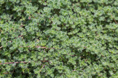 Wooly Thyme. Detail of wooly thyme (Thymus pseudolanuginosus) in the garden Royalty Free Stock Photo