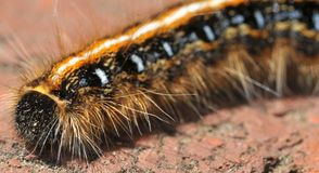 Wooly worm. Mammoth wooly worm Stock Photography