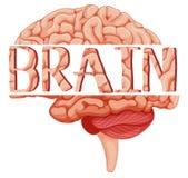 Word brain on human brain Royalty Free Stock Photo
