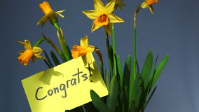 Word Congrats avec les fleurs jaunes de jonquilles clips vidéos
