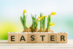 The word easter with daffodil flowers Stock Images