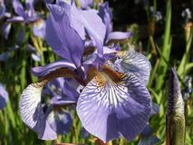 The Word of Flowers - in the home garden,. Various varieties of Irises stock photos