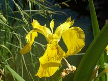 The Word of Flowers - in the home garden,. Various varieties of Irises royalty free stock photo