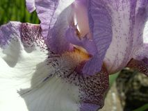 The Word of Flowers - in the home garden. Various varieties of Irises stock image